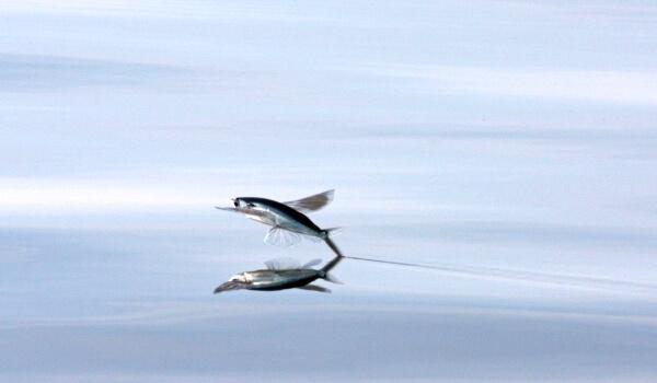 Летучая рыба особенности