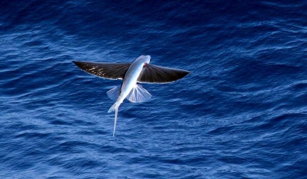 Особенности летучей рыбы