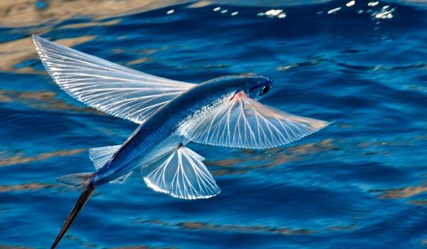 Летучая рыба описание