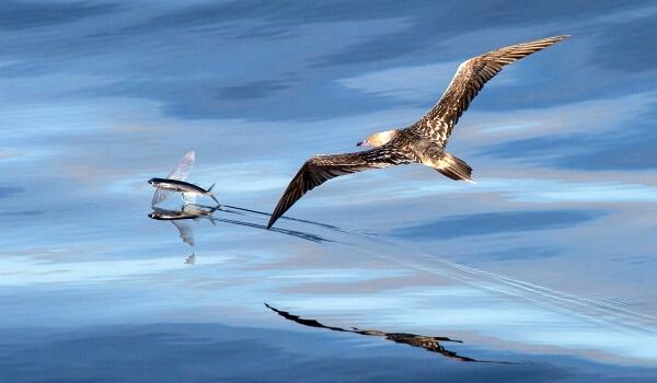 Враги летучей рыбы