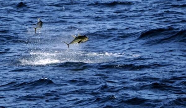 Размножение летучей рыбы