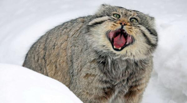 фото палласова кота