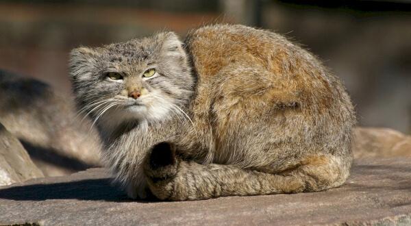 фото дикого кота манула