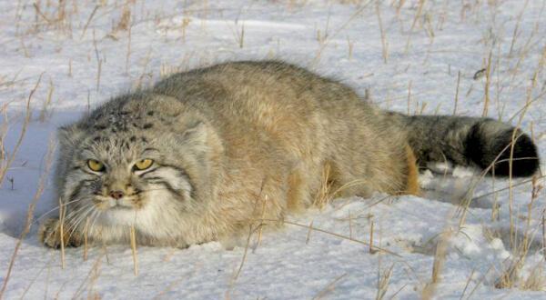 фото степного кота манула