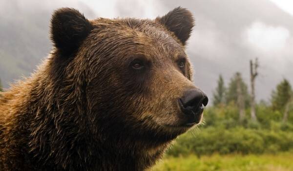 Фото: Медведь гризли