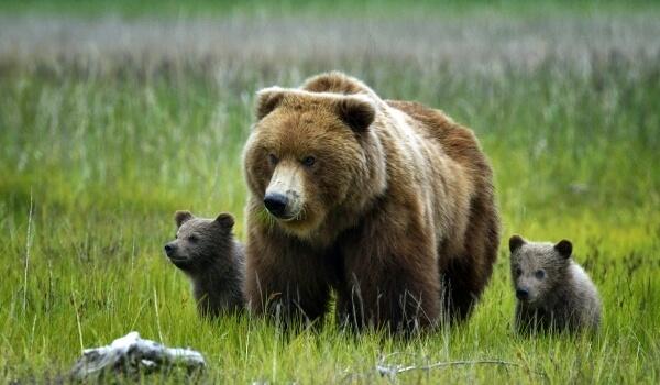 Фото: Как выглядит медведь гризли