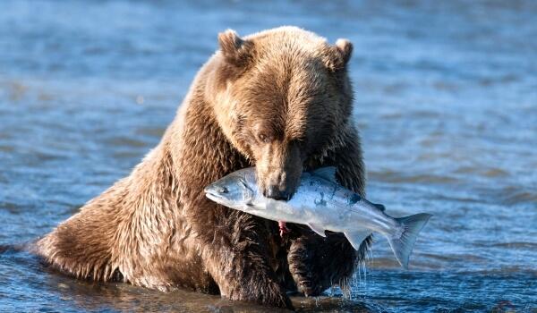 Фото: Животное медведь гризли