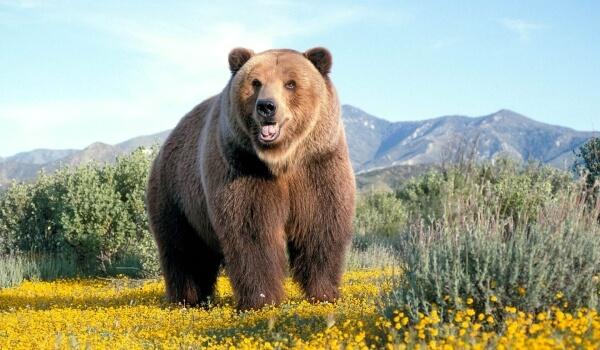 Фото: Медведь гризли стоя