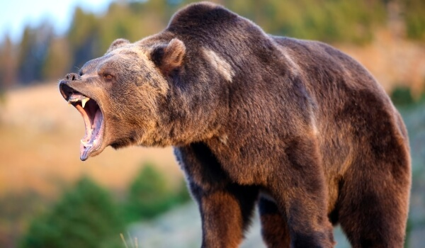 Фото: Злой медведь гризли