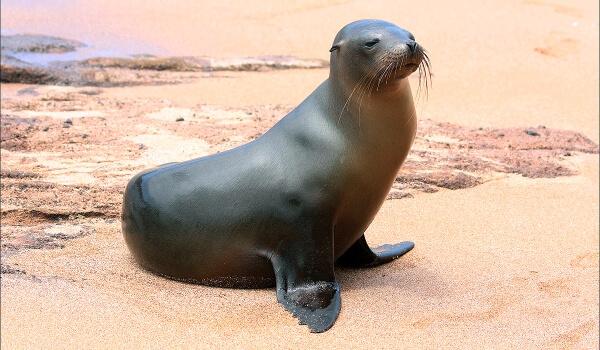 Фото: Как выглядит морской лев