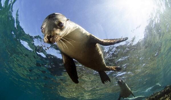 Фото: Морской лев ловит рыбу