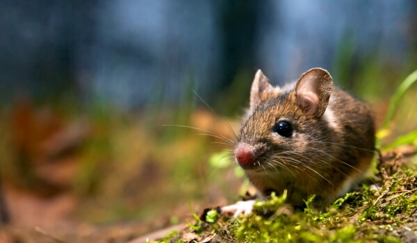 Фото: Мышь полевка