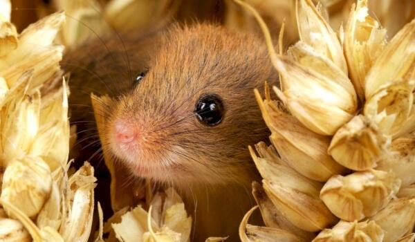 Фото: Полевая мышь