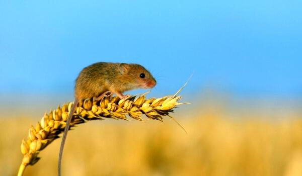 Фото: Мышь полевка животное