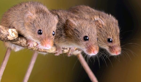 Фото: Детеныши полевой мыши