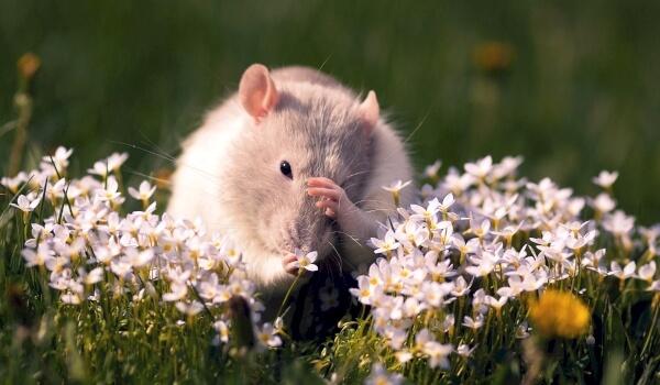 Фото: Мышь полевка в природе