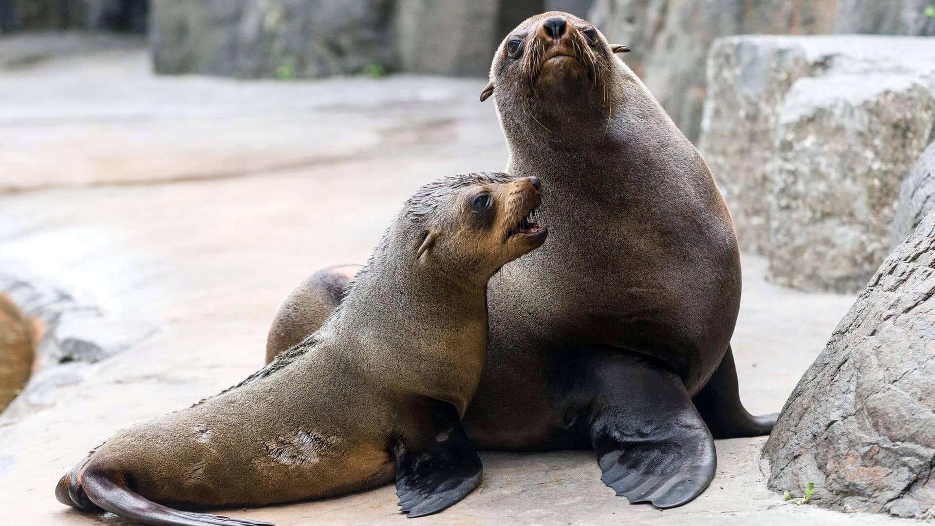 найдите поздравляемой ушастые тюлени фото они будут искать