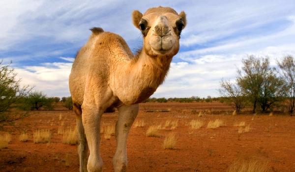 Одногорбый верблюд описание
