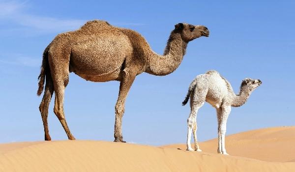 Размножение одногорбого верблюд фото