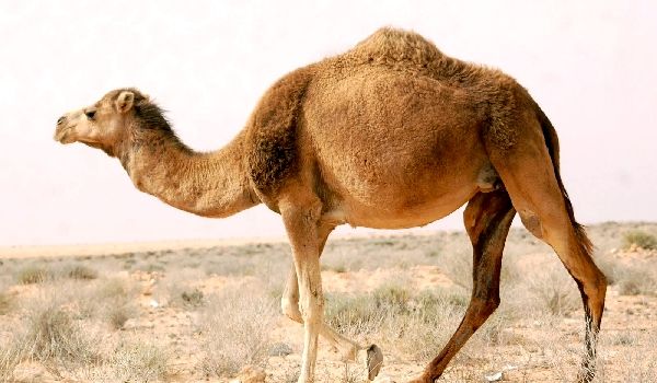 Враги одногорбого верблюда