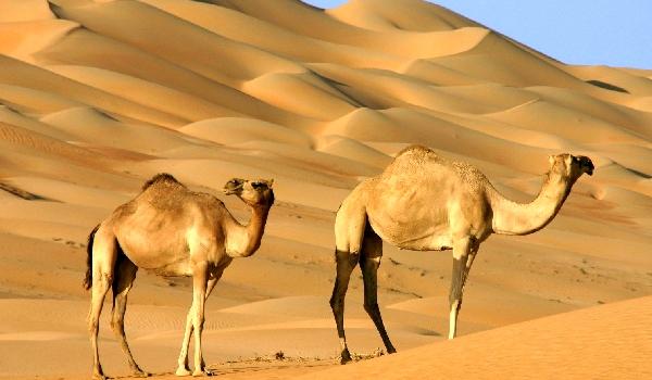 Одногорбый верблюд особенности