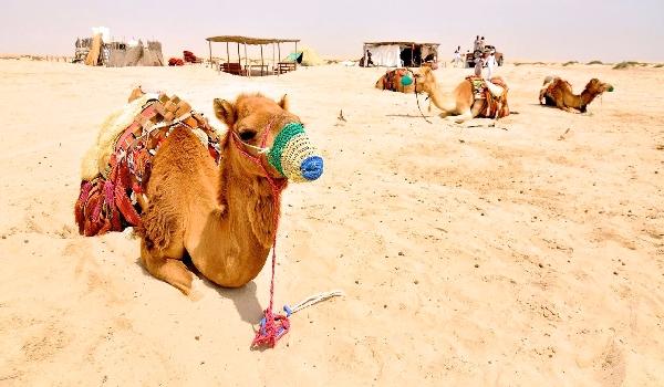Чем питается одногорбый верблюд