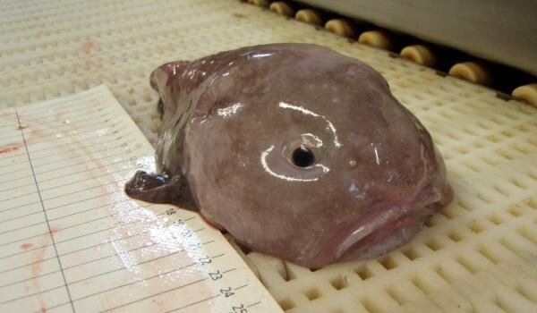 Фото: Глубоководная рыба-капля