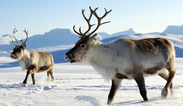 Фото: Животное северный олень