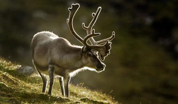 Фото: Северный олень в тундре