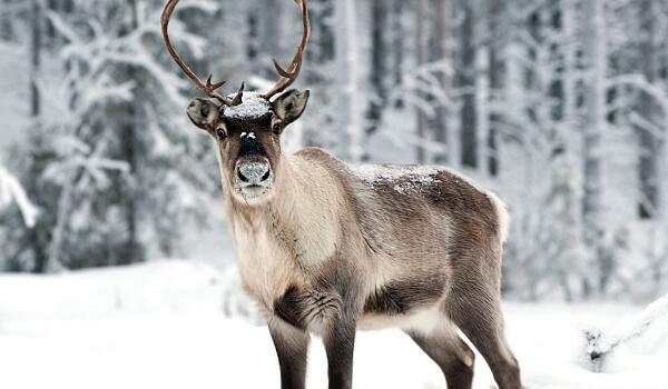 Фото: Северный олень в тундре зимой