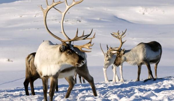 Фото: Северный олень зимой