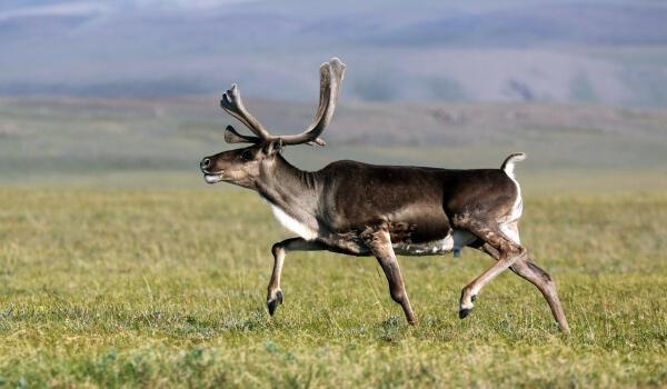Фото: Дикий северный олень