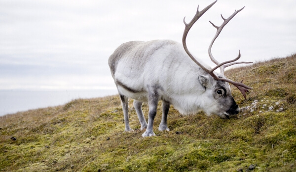 Фото: Северный олень