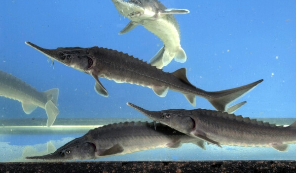Фото: Рыба стерлядь