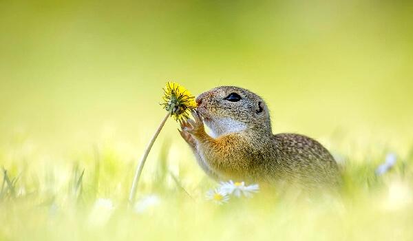 Чем питаются суслики