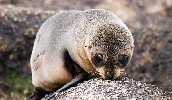 Фото: Ушастый тюлень из Красной книги