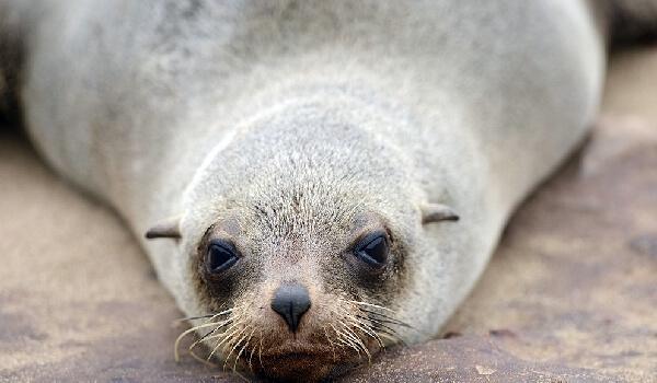 Фото: Большой ушастый тюлень