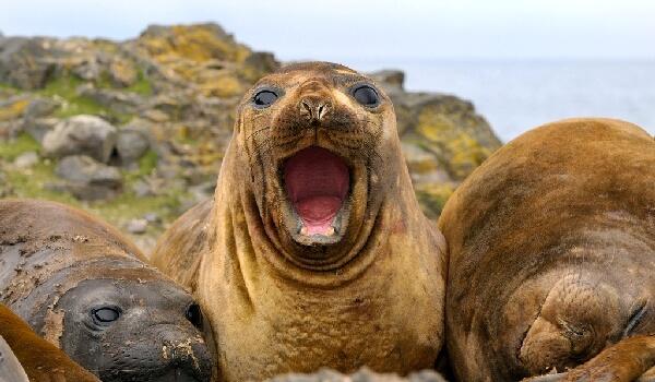 Фото: Как выглядит ушастый тюлень