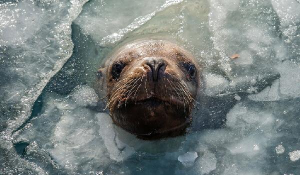 Фото: Ушастый тюлень, он же сивуч