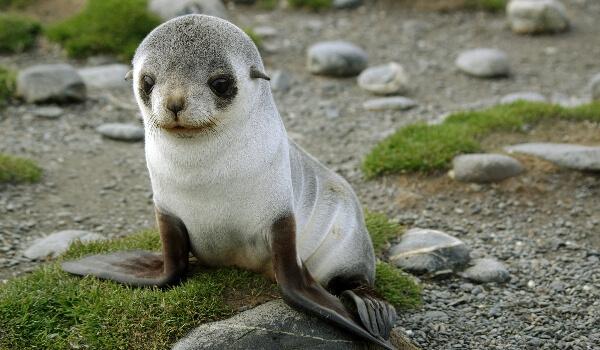 Фото: Детеныш ушастого тюленя