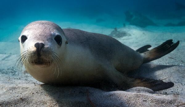 Фото: Ушастый тюлень