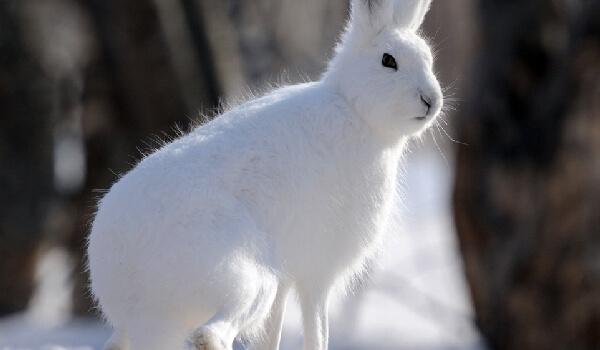 Враги зайца-беляка