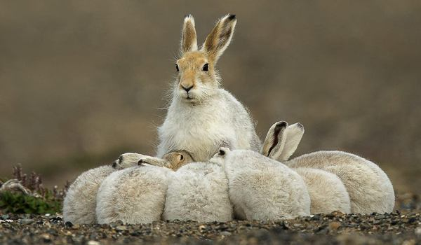 Размножение зайца беляка