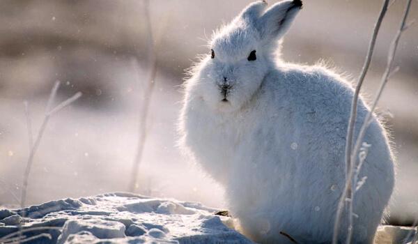 Заяц беляк образ жизни