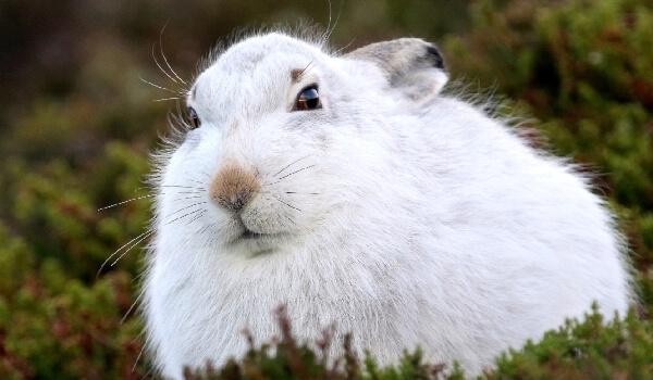 Популяция зайца беляка