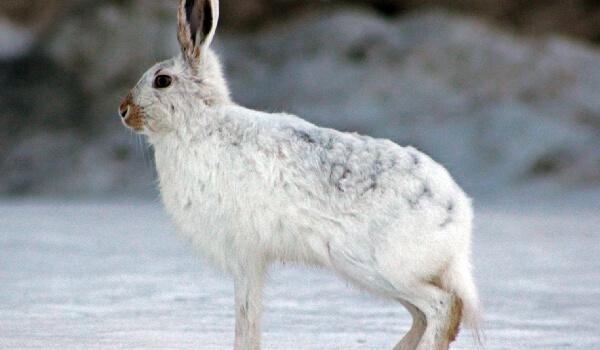 Внешний вид зайца беляка
