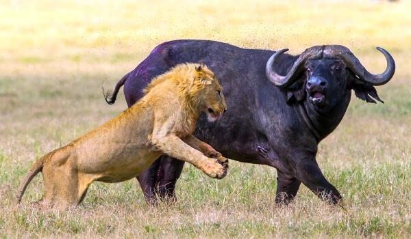 Фото: Африканский буйвол против льва