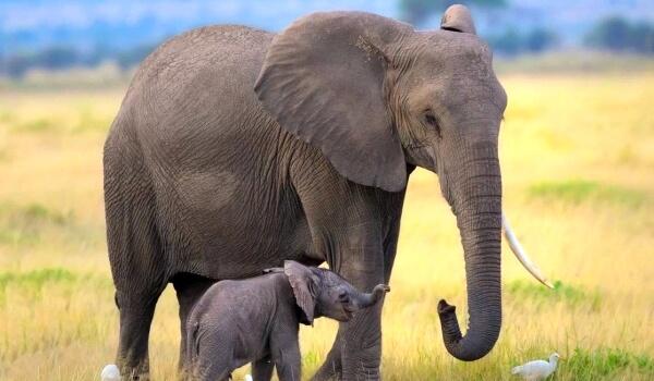 Фото: Детеныш африканского слона