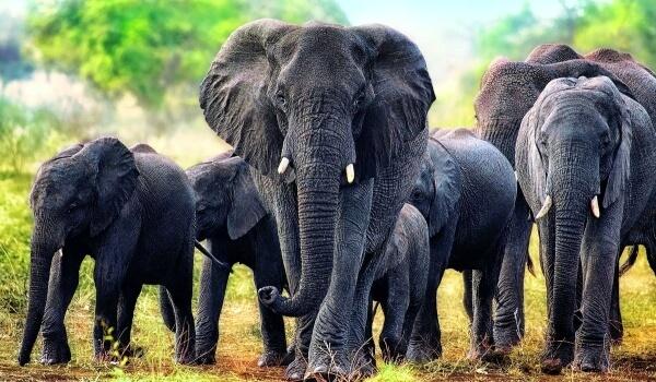 Фото: Животное Африканский слон