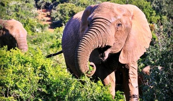 Фото: Африканский саванный слон